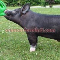 Berkshire boar: Juice It