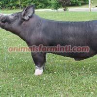 Berkshire Boar