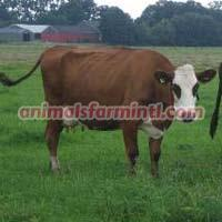 blaarkop cattle
