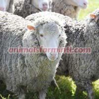 Booroola Merino Sheep