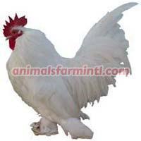Booted Bantam Chicken