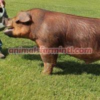Duroc boar: Kuba