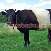 Dutch Belted cattle