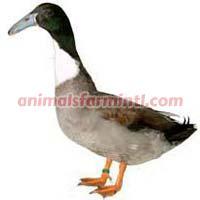Dutch Hookbill Duck
