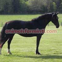 Dutch Warmblood Horse