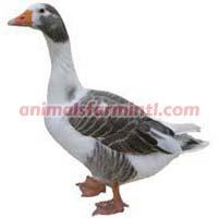 England Geese