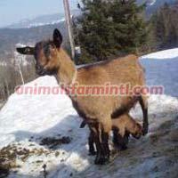 Erzgebirge goat