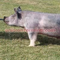 Exotic  Boar