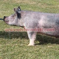 Exotic boar: Blue By You