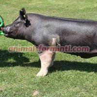Exotic  boar: Even Flow