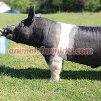 Exotic  boar: Midnight Rider
