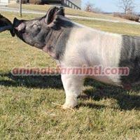 Exotic boar: Omaha