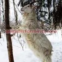 Finnish Landrace Goat