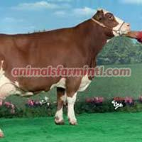 French Simmental Cow