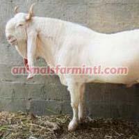 Gulabi Pateri Goat