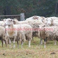 Gulf Coast Sheep