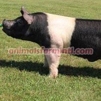 Hampshire  boar: Blind Draw