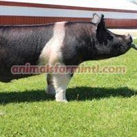 Hampshire boar: Double D