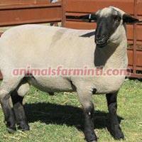 Hampshire Sheep