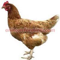 Hybrid Chicken