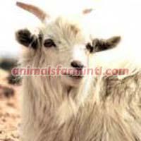 Hyrcus Goat