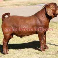 Kalahari Red goat