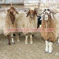 Karakul Sheep