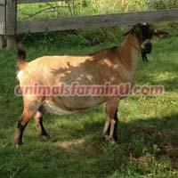 Kinder Goat