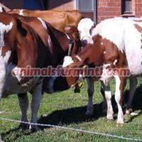Kostroma Cow