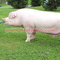 Landrace  boar: Permission Slip