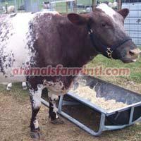 Milking Shorthorn cattle