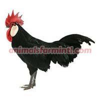 Minorca Chickens