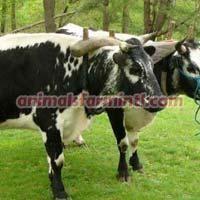 Murnau Werdenfels Cow