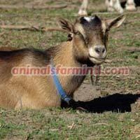 Nigerian Dwarf Doe's goat