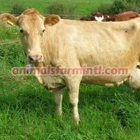 Northern Finn Cow