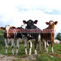 Norwegian Red cattle
