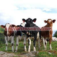 Norwegian Red Cow