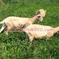 Pedigree British Toggenburg Goat Herd