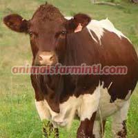 Pinzgauer Cow