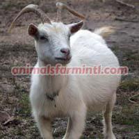 Pygmy Doe's goat