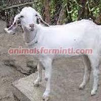 Surati goat