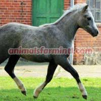 Welsh Pony Horse