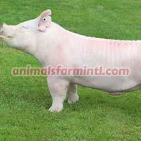 Yorkshire boar: Buzz Saw