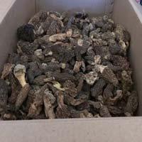 Morchella Esculenta-morel Mushroom