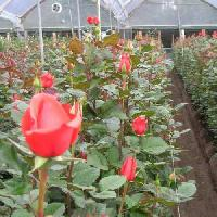 Dutch Rose Plant