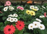 Hybrid Gerbera & Plants