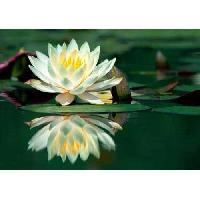 White Lotus Absolute