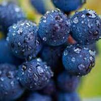Fresh Wine Grapes