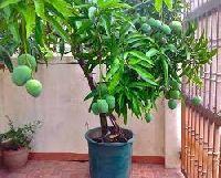 Mango Tree Plants