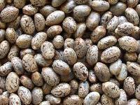 Castor Seeds Biofuel